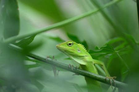 Bunglon Surai (Bronchocela jubata) is a species of tree lizard