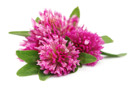 red clover: Red clover flower on white close up