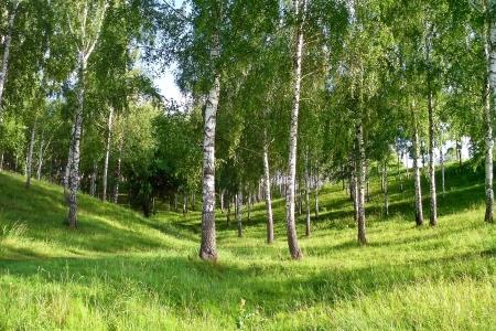 sumy: Birch Grove in a ravine in the summer sunny day  Sumy  Ukraine