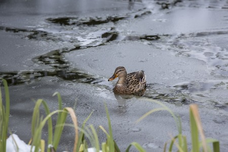 Female duck playing and floating on winter ice frozen city park pond.