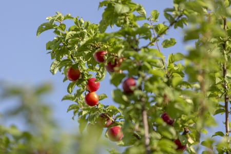 Red mirabelle cherry plums - Prunus domestica syriaca lit by sun, growing on wild tree. Stockfoto