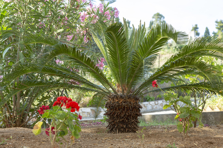 Small palm tree in a exotic garden, popular plants for decorating and creating exotic gardens