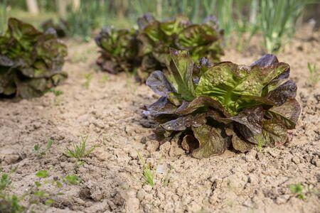 Roter Blattsalat auf Gartenbett im Gemüsefeld in Bulgarien. Lactuca sativa-Blätter, Nahaufnahme. Blattsalat-Plantage.