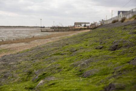 Close-up d'algues poussant sur la côte rocheuse et visible à marée basse à Leigh-on-Sea, Royaume-Uni. Mise au point sélective. Banque d'images