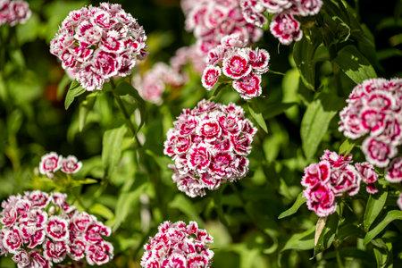 Sweet William flower bouquet. Beautiful Dianthus barbatus. Imagens