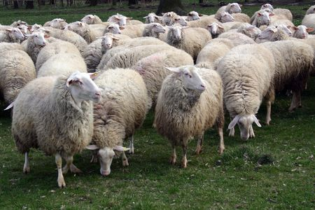 Flock of sheep graze fresh grass Stock Photo - 6801399