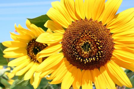 close-ups of beauty sunflower on blue background Stock Photo
