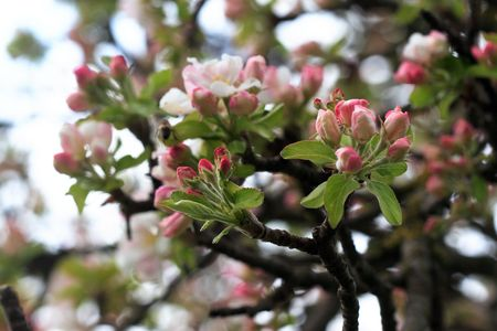 Blossomed apple tree close-up Stock Photo