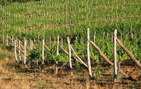 vines lit up by the spring sun