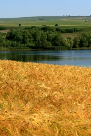 Maturing wheat with blue sky and lake in the background
