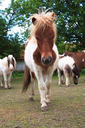 Little Pony close-up Stock Photo