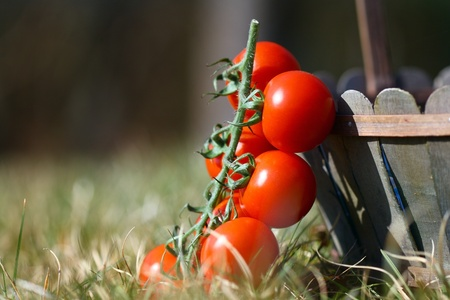 Freshly cut cherry tomatoes in a large basket lying in fresh grass.