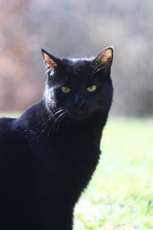 portrait of a black cat, close-up Stock Photo
