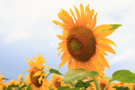 sunflowers at the field in summer, close-up Stock Photo