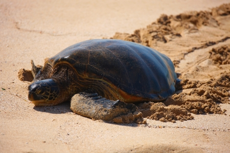 Endangered Green Sea Turtle, Oahu, Hawaii photo