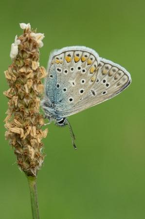 polyommatus icarus: Modraszek Ikar Polyommatus icarus
