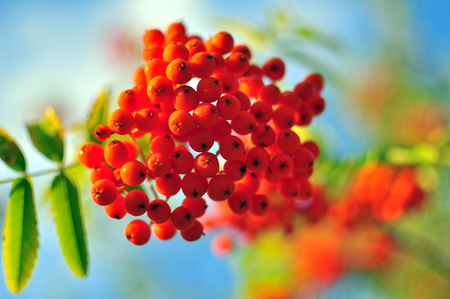 rowanberry: Rowanberry background