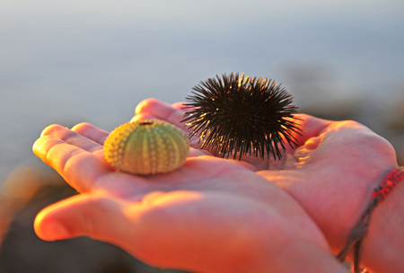 Sea urchin and its shell in the hands
