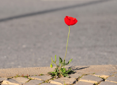 Amazing Poppy flower on the asphalt road Stock Photo