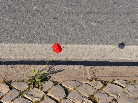 Growing poppy flower on the asphalt road