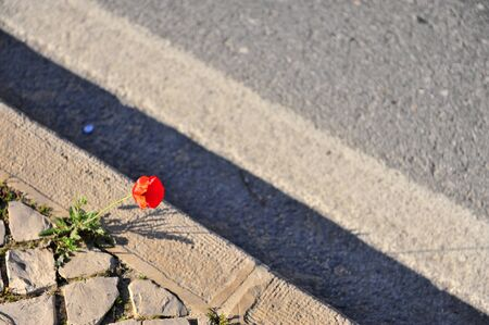 Lonely red poppy flower growing in asphalt, top view Фото со стока