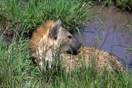 hyena: hyena Stock Photo