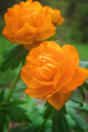 Beautiful forest flowers, Siberian globeflower - Herbaceous perennial plant of the family Ranunculaceae genus Trollius
