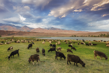 livestock sector: A herd of sheep and goats grazing near the lake at the foot of the mountains, Altai Mountains
