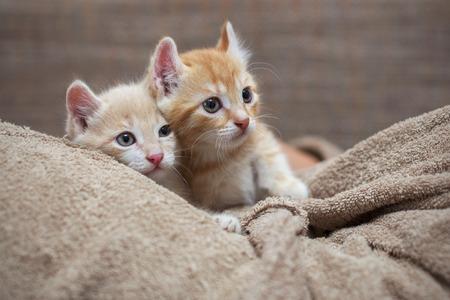 red bathrobe: Two red kitten lying on the man in bathrobe Stock Photo
