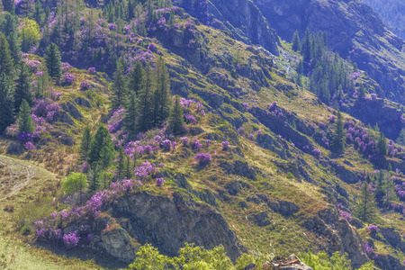 mountainside: Flowering rhododendron, spring mountainside in the Altai Stock Photo