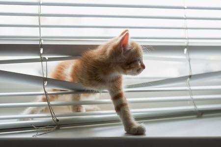 plastico pet: Gatito rojo enredado en persianas de la ventana Foto de archivo