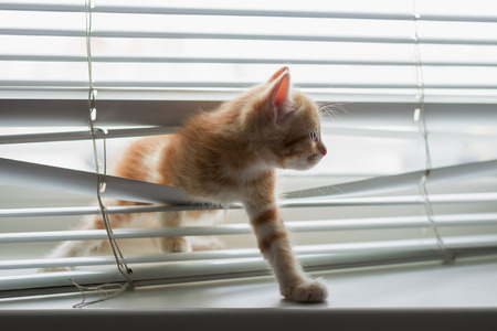 window blinds: Red kitten tangled in window blinds