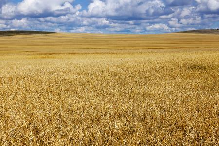 Oat field in Khakassia on a sunny day