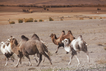 running camel: Herd of Bactrian camels traveling through the hills of the Altai Mountains Stock Photo