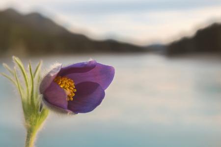 katun: Snowdrop on the bank of the Katun River bloomed in autumn