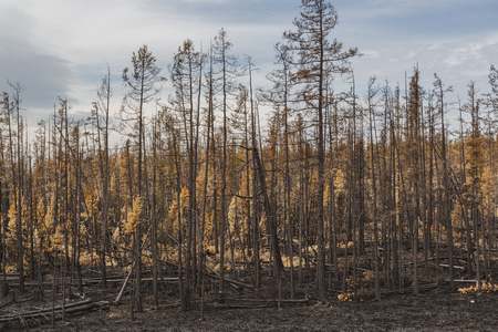 Charred trees after a forest fire