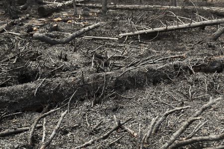 charred: Charred trees after a forest fire