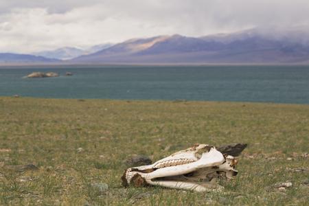 mongolia horse: Skull of a horse on a lake Uureg Nuur  in Mongolia