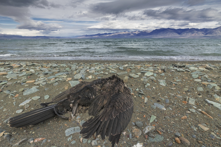 dead animal: Dead bird on the lake Uureg Nuur, thrown by waves during a storm Stock Photo