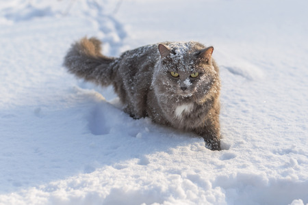 sneaking: Gray fluffy cat is sneaking through the snow