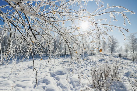 Sunny winter day in the snow-covered birch grove Stock Photo
