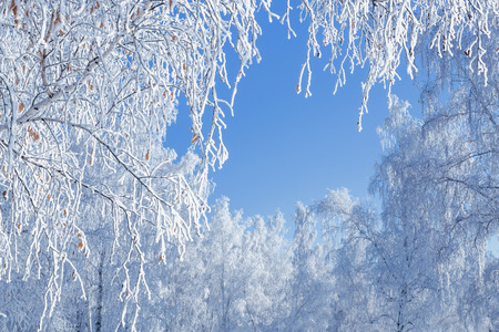 Birch winter snow branches against the blue sky Stock Photo