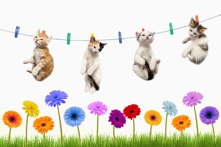 Quatre chatons sèchent sur une corde à linge sur un fond blanc au-dessus d'une pelouse avec des fleurs