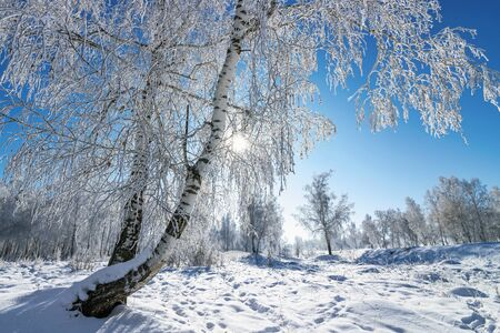 Sunny winter day in the snow-covered birch grove Banque d'images - 147246595