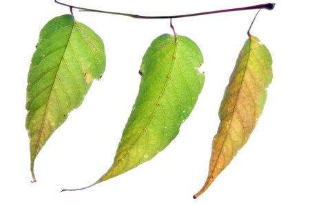 autumn leaf  on white background Stock Photo - 2075071