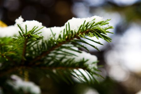 ramification: winter fir branch in snow Stock Photo