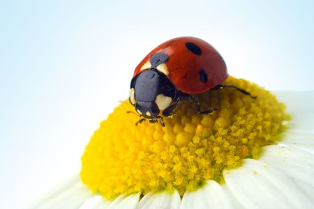 flower ladybug: ladybug on flower over blue sky