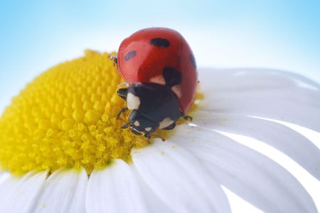 camomile flower with ladybug under blue sky Stock Photo - 2711456
