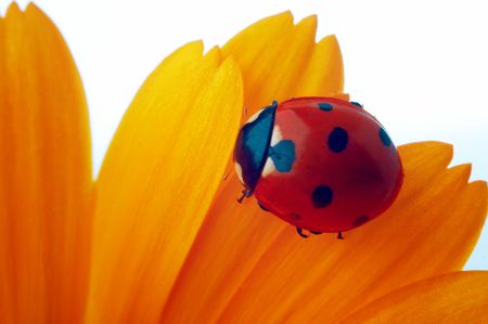 ladybug on yellow flower petals Stock Photo