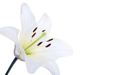 lilia: flor lirio blanco sobre fondo blanco